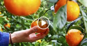 SUAN SOM (สวนส้ม) – POMERANČOVÉ PLANTÁŽE